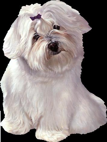 chien bichon