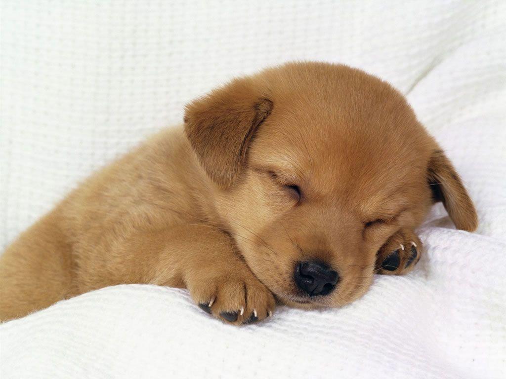Fond d ecran chien for Fond ecran chiot